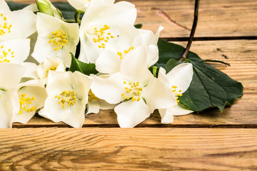 Jasmine flowers on wood background.