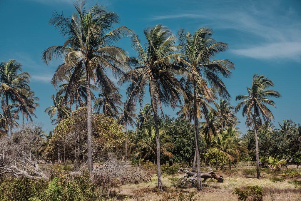 mozambik palmy