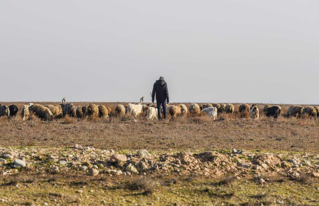 azerbejdzan owce-1